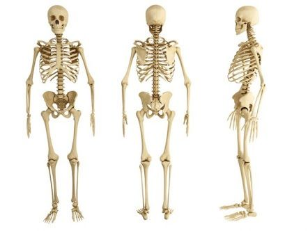 Tejido Oseo huesos