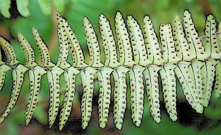 Esporas cromosomas