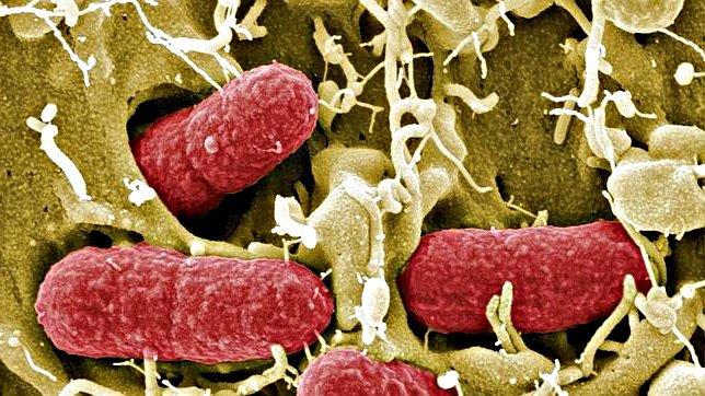 Cepa Bacteriana