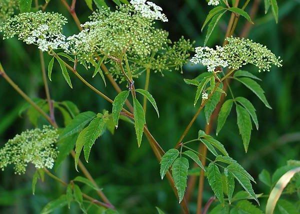 Cicuta (Planta) planta